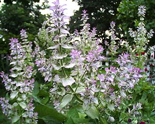 clary sage essential oil 2