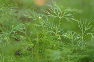 dill essential oil 2