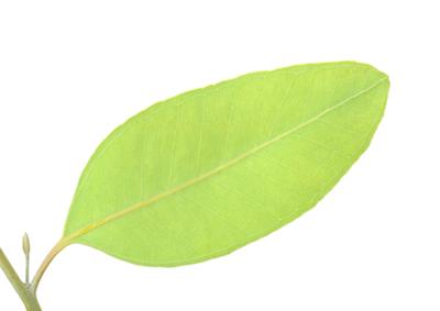 eucalyptus dives essential oil 3