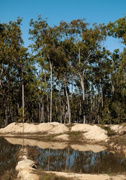 eucalyptus radiata essential oil 4