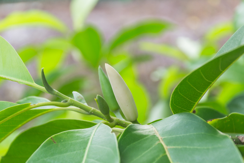 white champa leaf essential oil 2