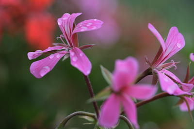 rose geranium essential oil 2