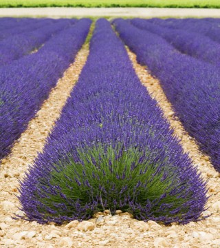lavender Maillette essential oil 2