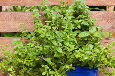 marjoram essential oil 2