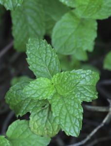 melissa essential oil 2