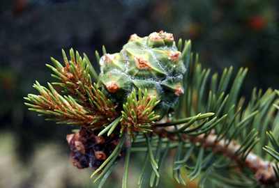 piñon pine cone essential oil 2
