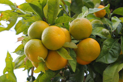 yellow mandarin essential oil 2