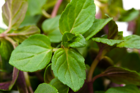 spearmint essential oil 2
