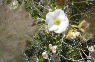 Apache plume flower essence 2