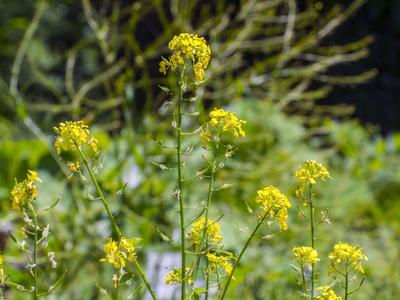 mustard flower essence 3