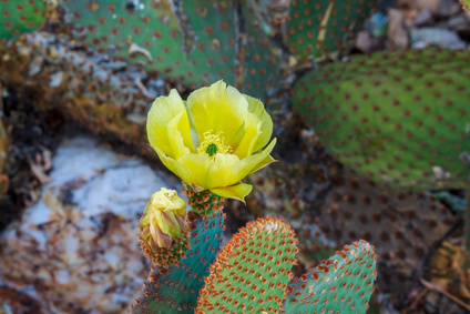 prickly pear flower essence 2