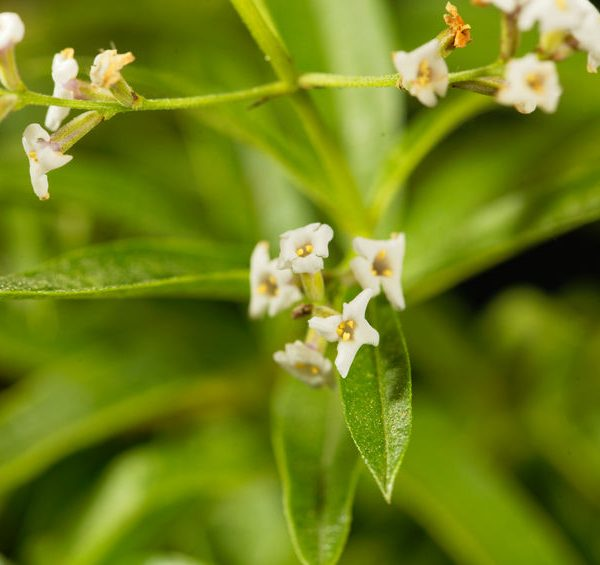 Lemon-Verbena-Essential-Oil